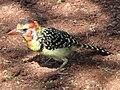 Red-and-yellow Barbet, Lake Manyara.jpg