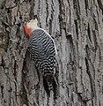 Red-bellied Woodpecker (33301610946).jpg