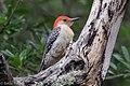 Red-bellied Woodpecker Sabine Woods TX 2018-04-14 09-24-32 (41767769822).jpg