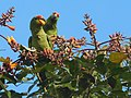 Red-lored Parrots (Amazona autumnalis) in Costa Rica.JPG