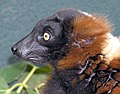 Red.ruffed.lemur.face.arp.jpg