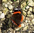 Red Admiral 47 (2785108226).jpg