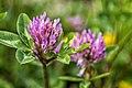Red Clover (Trifolium pratense) (18762674241).jpg