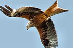 Red Kite - Scotland (35919504520).jpg