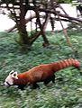 Red Panda 1.jpg