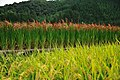 Red Rice Paddy field in Japan 007.jpg