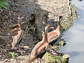 Red billed whistling duck (14377661734).jpg