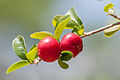 Red cherry in Margarita Island.jpg
