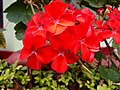 Red flowers in nature.jpg