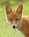 Red fox - Vos - Vulpes vulpes.jpg