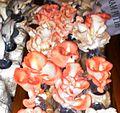 Red oyster mushroom DSC 0962-.jpg