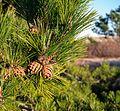 Red pine cones (52371).jpg