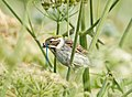 Reed Bunting with Damselfly (19493810292).jpg