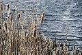 Reeds in lake (2424871923).jpg