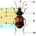Reitter Panagaeus beetle tagged.png