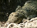 Reptile Salt Water Crocodile P1110400 12.jpg