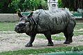 Rhinoceros unicornis - Kolkata 2011-05-03 2571.JPG