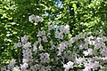 Rhododendron Allegory 7zz.jpg
