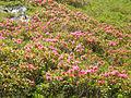 Rhododendron ferruginum (Pyrenees) 6.JPG
