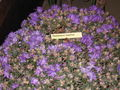 Rhododendron impeditum garden show.jpg