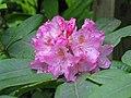 Rhododendron macrophyllum.JPG