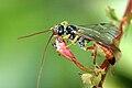 Rhorus.longicornis.-.lindsey.jpg