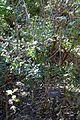 Rhus virens - Zilker Botanical Garden - Austin, Texas - DSC08767.jpg