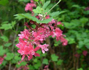 Ribes sanguineum - Ribes sanguineum flowers.