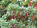 Ribes speciosum (13620513805).jpg