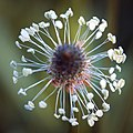 Ribwort plantain (51317453579).jpg
