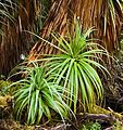 Richea pandanifolia fragment6.jpg