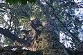 Rimu-with-epiphytes.jpg