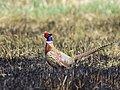 Ring-necked pheasant at LaCreek National Wildlife Refuge (51156564225).jpg