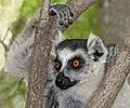 Ring-tailed lemur (Lemur catta) in tree.jpg