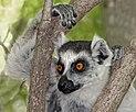 Ring-tailed lemur (Lemur catta) in tree.jpg
