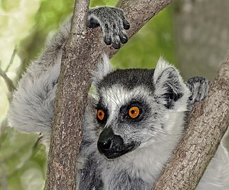 Ring-tailed lemur - Anja Community reserve