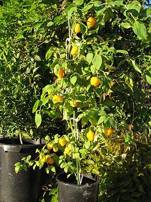 Rocoto mit reifen Früchten