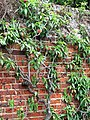 Ripe peaches - geograph.org.uk - 882396.jpg