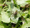 Robberfly - Flickr - gailhampshire.jpg