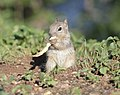 Rock Squirrel juvenile 03.jpg