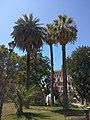 Roma - palma californiana.jpg