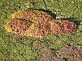 Roof cushion moss Leucobryum in Tottenham, London 02.jpg