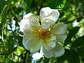 Rosa 'Lykkefund'5.JPG