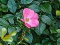 Rosa 'Pink Blanket' (d.j.b) 01.jpg