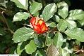 Rosa Betty Boop 0zz.jpg