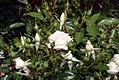 Rosa Bridal Sunblaze 0zz.jpg
