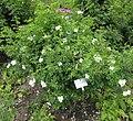 Rosa tomentosa plant (01).jpg
