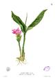 Roscoea lutea Blanco1.3.png