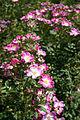 Rose,Mosellied,バラ,モゼルリード, (8169728610).jpg