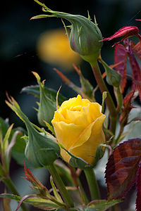 Rose, Friesia - Flickr - nekonomania (3).jpg
